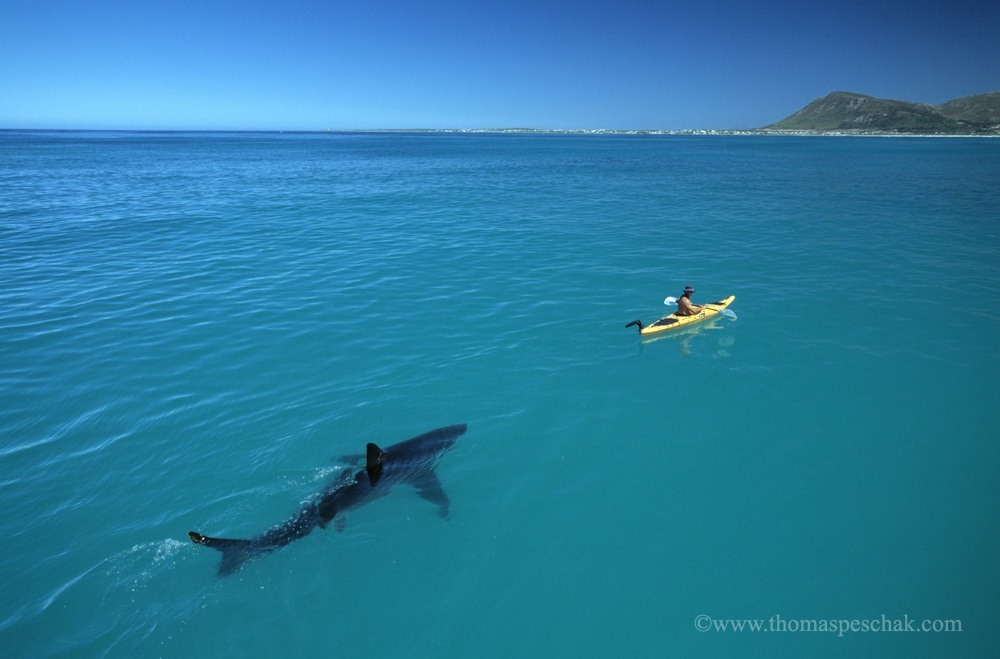 great-white-shark-following-kayak