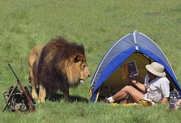 Lion Wakes Up Hunter In Tent