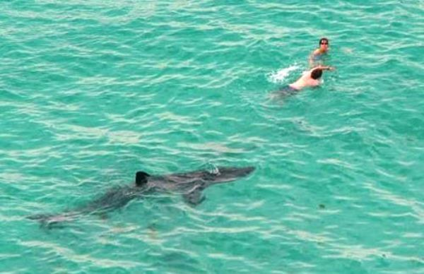 Shark Follows People In Ocean Picture
