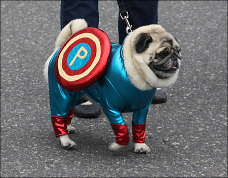 Halloween Pugs Captain America