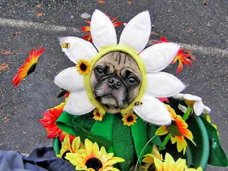 Halloween Pugs Flower