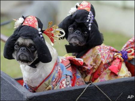 Halloween Pugs Dressed As Geishas