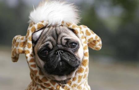 Halloween Pugs Giraffe