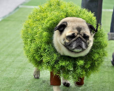 Halloween Pugs Hedge