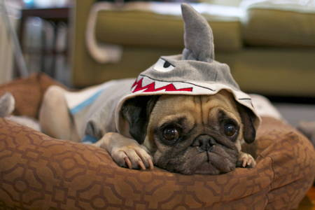 Halloween Pugs Shark