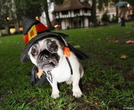 Halloween Pug Costume Witch