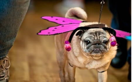 Pugs Dressed As Butterfly