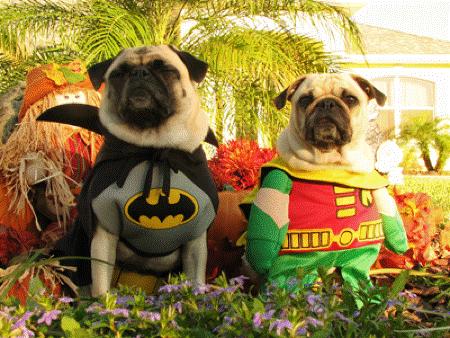 Halloween Pugs Costume Heroes
