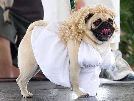 Best Pug Costumes Marilyn