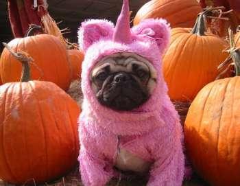 halloween-pugs