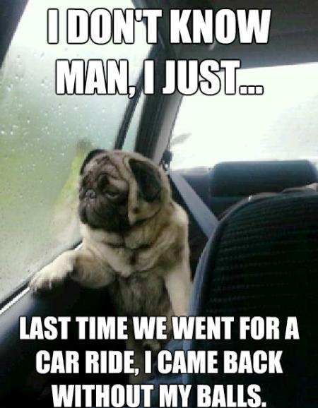 Introspective Pug Meme Car Ride Neutering