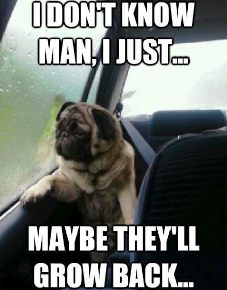 Pug Meme Hopes They Grow Back