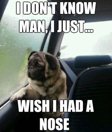 Introspective Pugs Meme Flat Nose