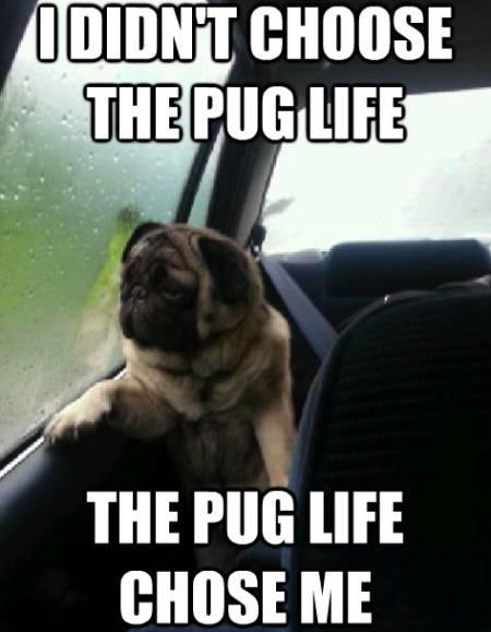 Pug Meme Pug Life