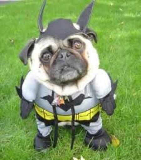 pug-halloween-batman