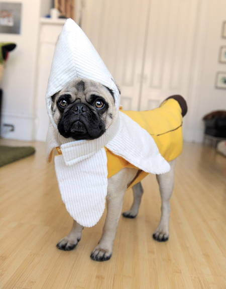 Halloween Pug Banana