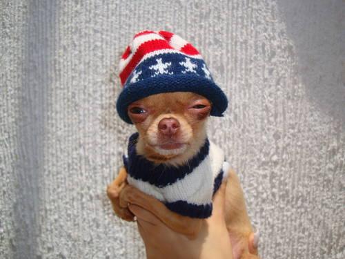 Stoned Pets Chihuahua