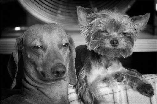 Stoned Pets Yorkie