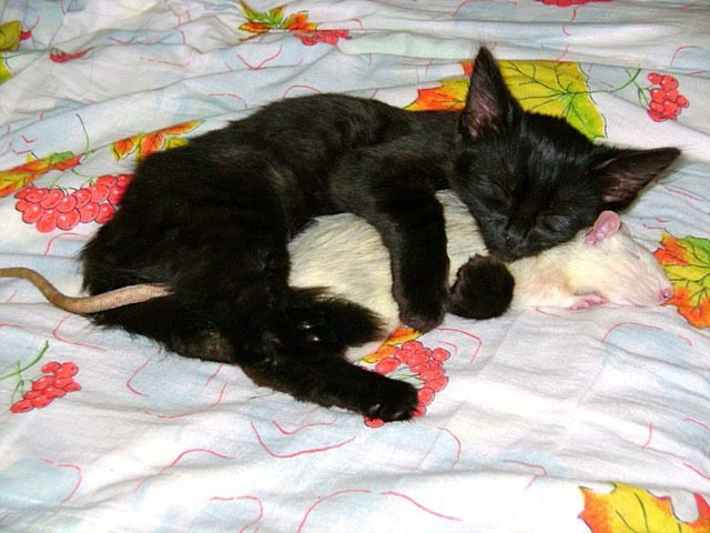 Cat Snuggling A Rat