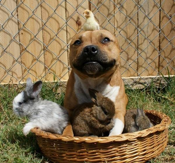 best-viral-pictures-week-5-dog-with-chicks