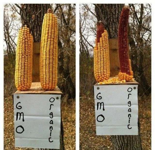 best-viral-pictures-week-8-corn
