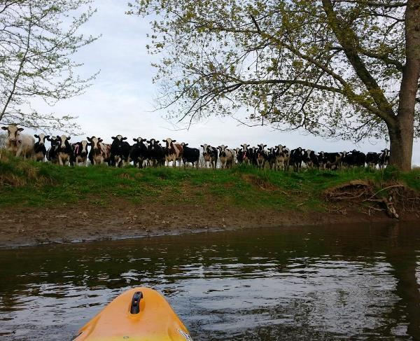 best-viral-pictures-curious-cows