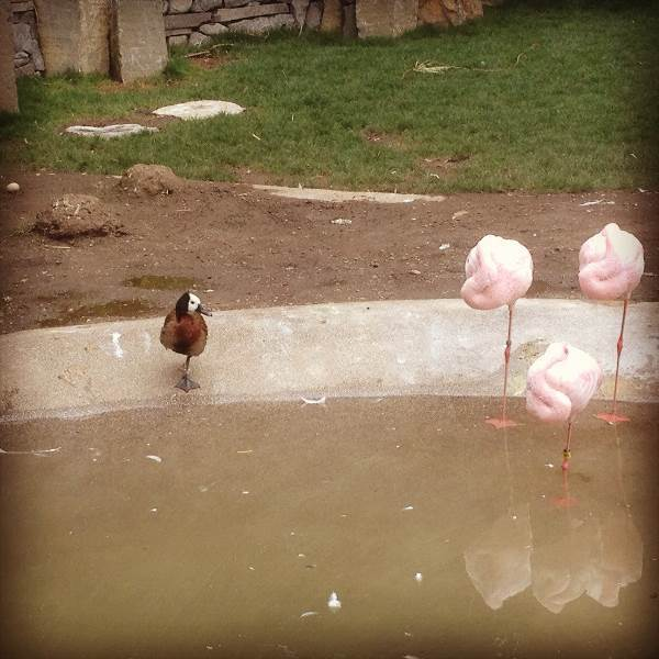 best-viral-pictures-duck-flamingos