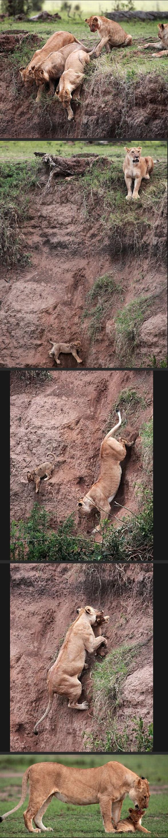 best-viral-pictures-lion-cub-rescue