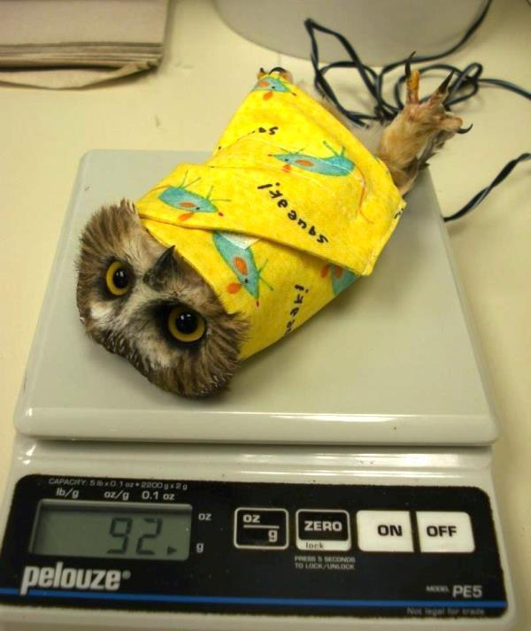 best-viral-pictures-weigh-an-owl