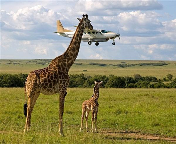 Giraffe Biting An Airplane
