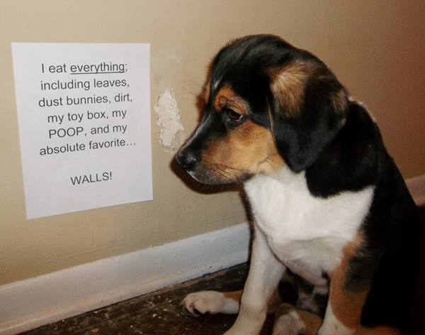 Dog Shaming For Eating The Walls