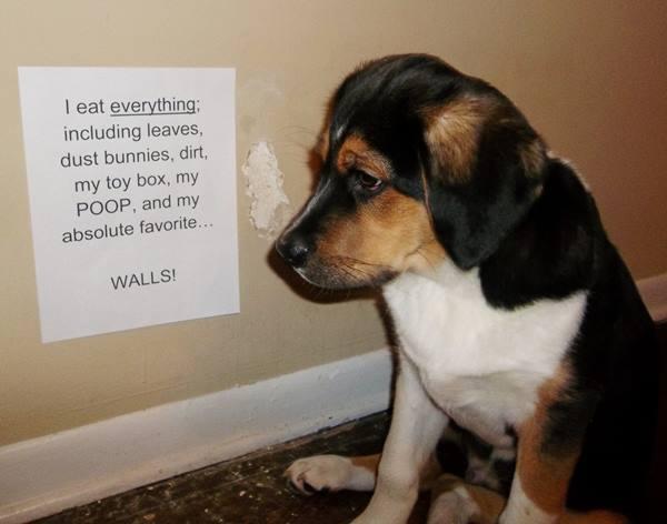 Dog Shaming For Eating The Walls