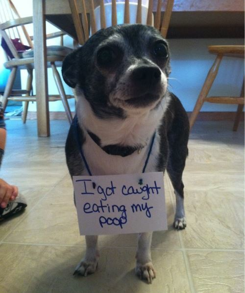 Dog Shaming For Eating Poop