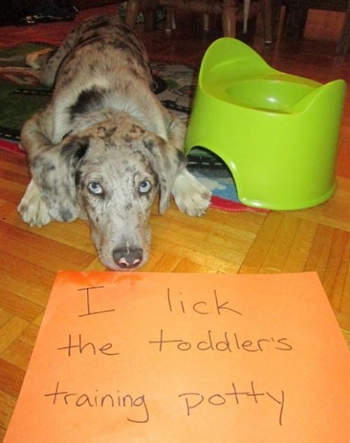 Dog Shaming For Licking Toilets