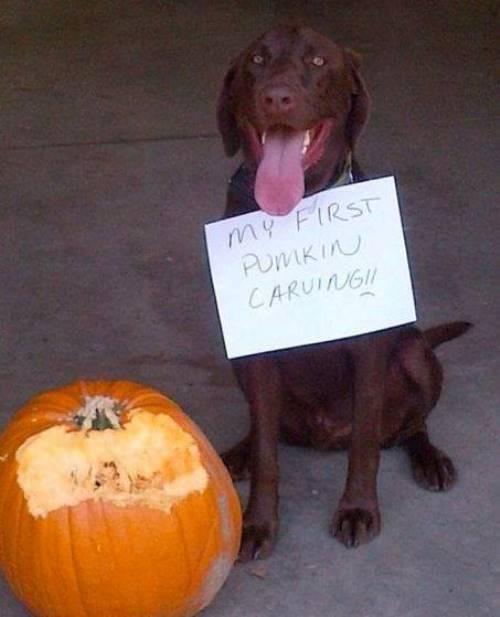 Dog Shaming Pumpkin Carving
