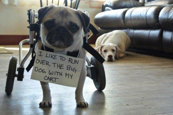 Runs Over The Big Dog Dog Shaming