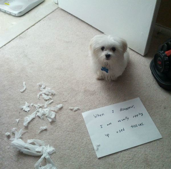 Dog Shaming For Tearing Up Tissues