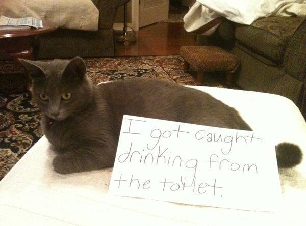 Cat Shaming Drinking From The Toilet