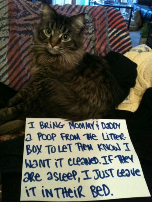 Cat Shaming Poop