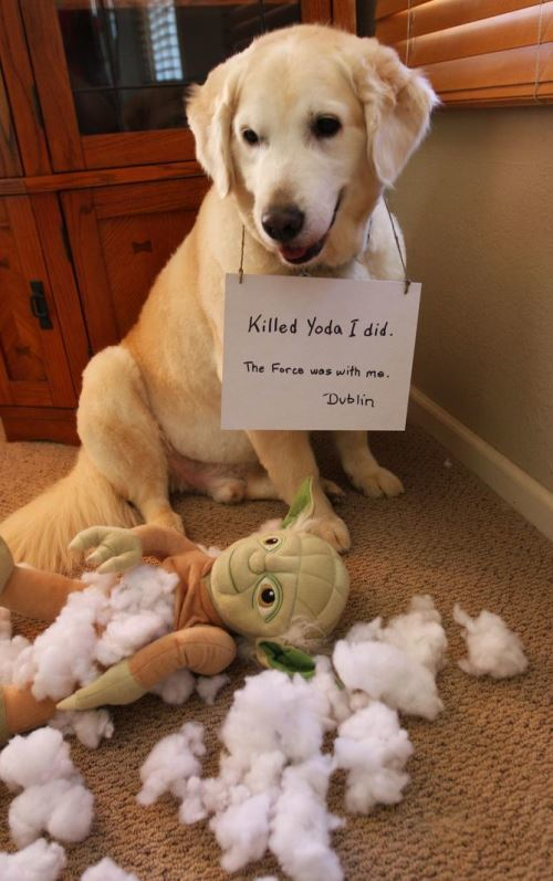 Dog Killed Yoda