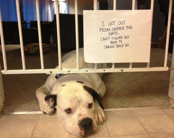 Dog Shaming Stuck In Gate