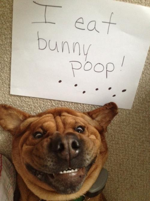 Pet Dog Shaming Eats Bunny Poop