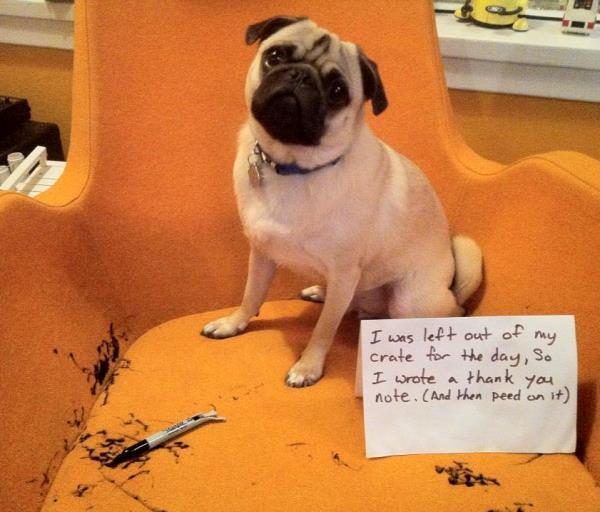 Pet Shaming Pug