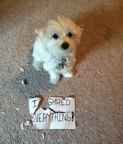 I Shred Everything Funny Pet Picture