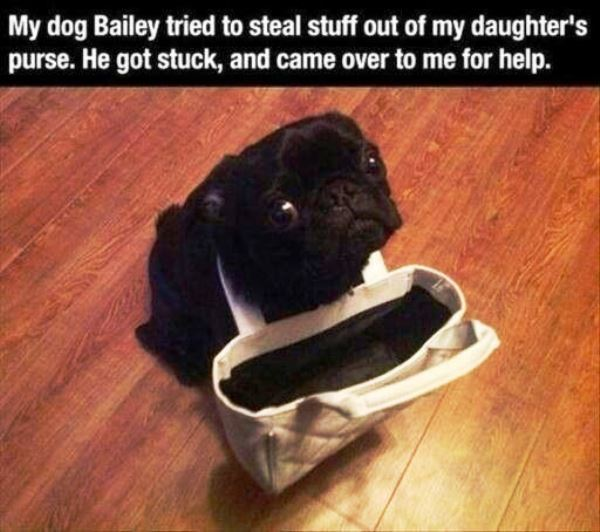 Pug Puppy Shaming