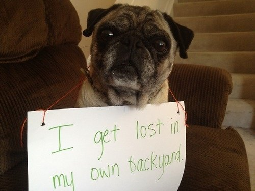 Pug Shaming Picture