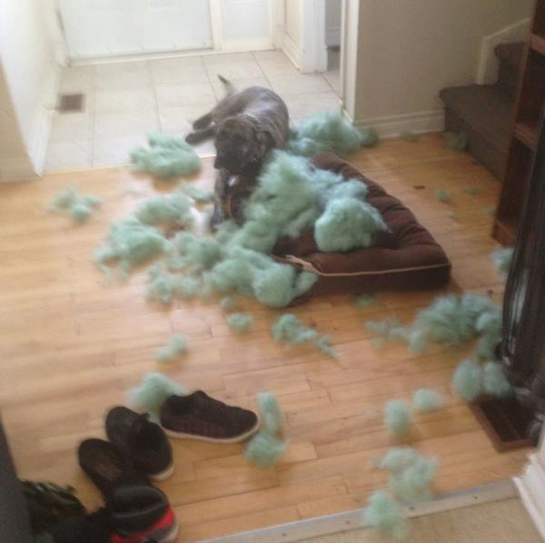 Animals Being Jerks Dog Destroys Pillow