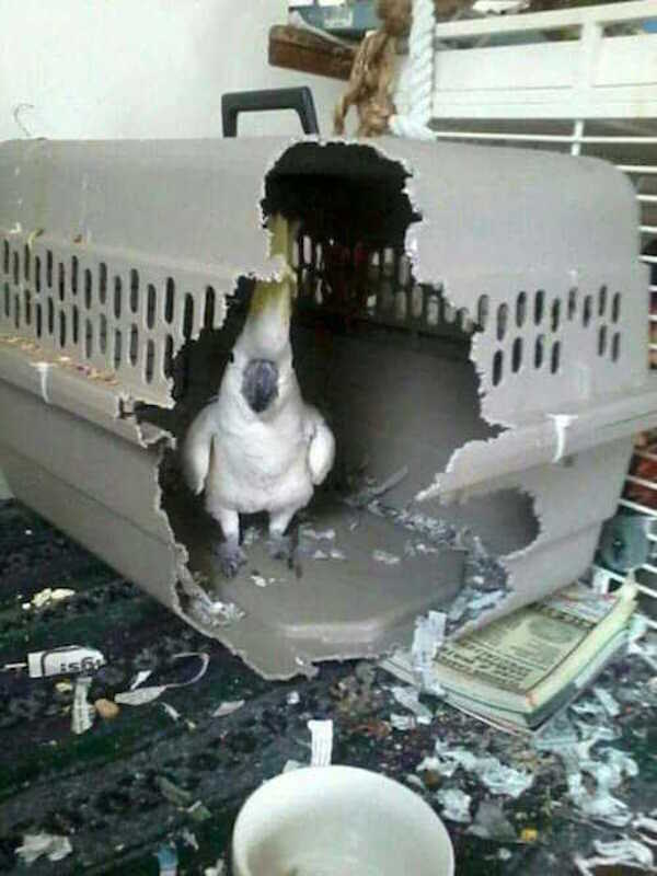 Bad Cockatiel