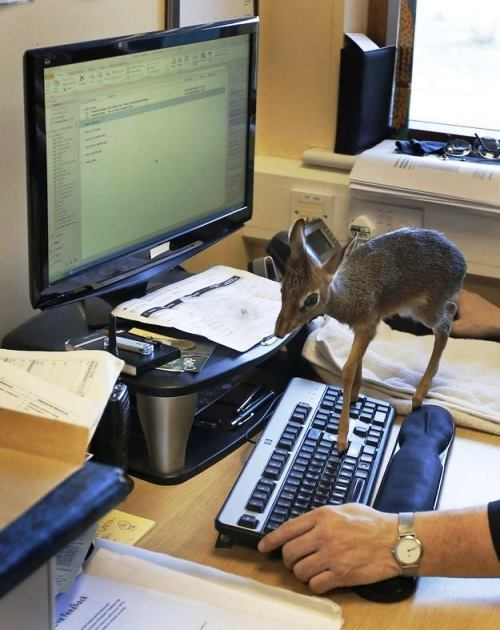 Deer On Keyboard