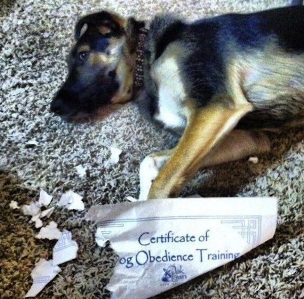Dog Fails Obedience School